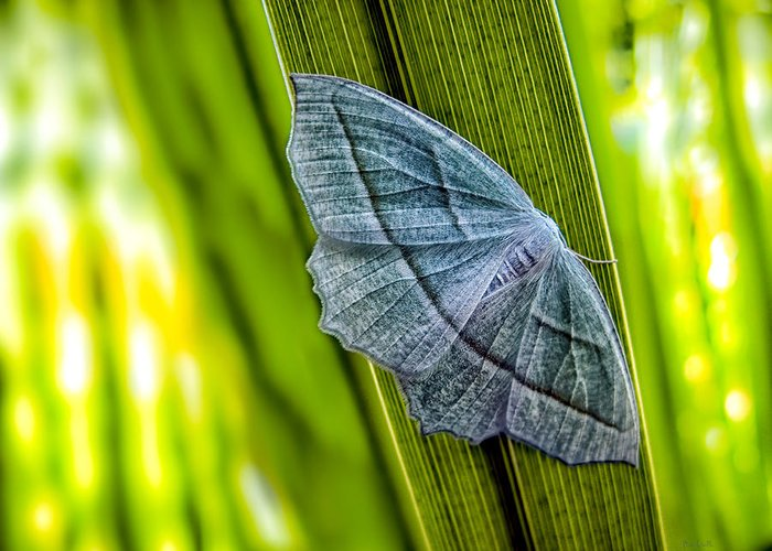 Butterfly Greeting Card featuring the photograph Tiny Moth On A Blade Of Grass by Bob Orsillo