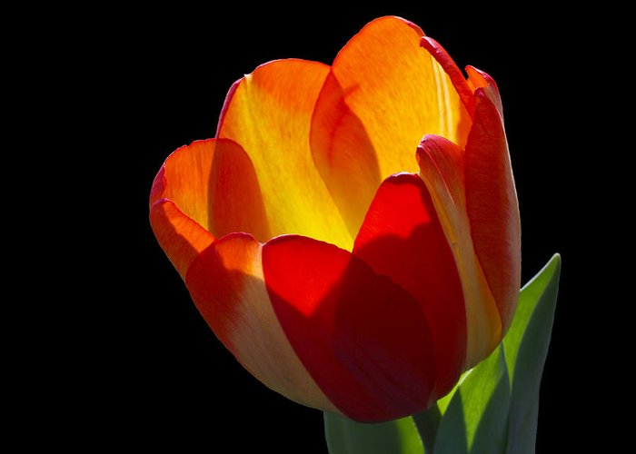Tulip Greeting Card featuring the photograph Tippy by Doug Norkum