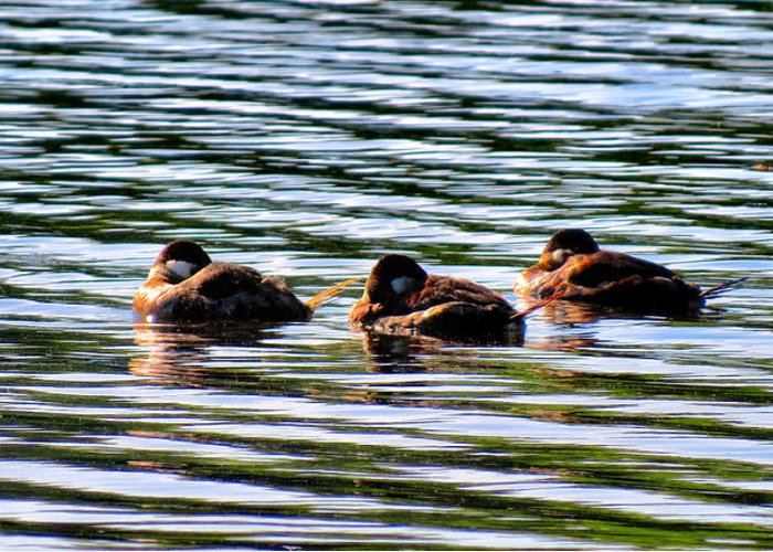 Ducks Greeting Card featuring the photograph Tired Trio by Art Dingo