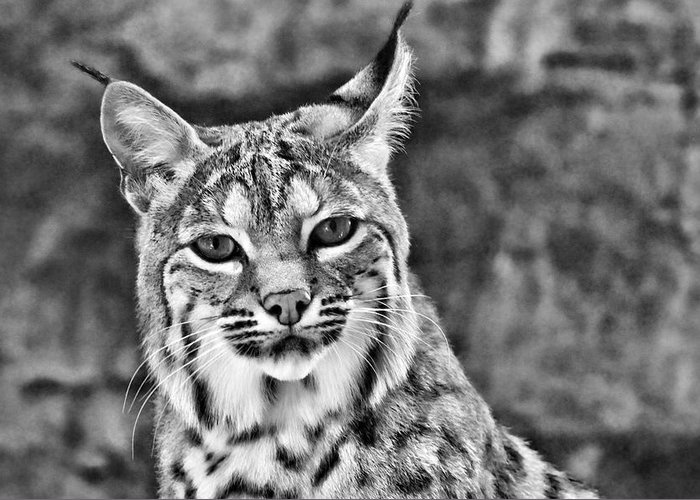 Bobcat Greeting Card featuring the photograph To Be Seen by Natasha Mohr