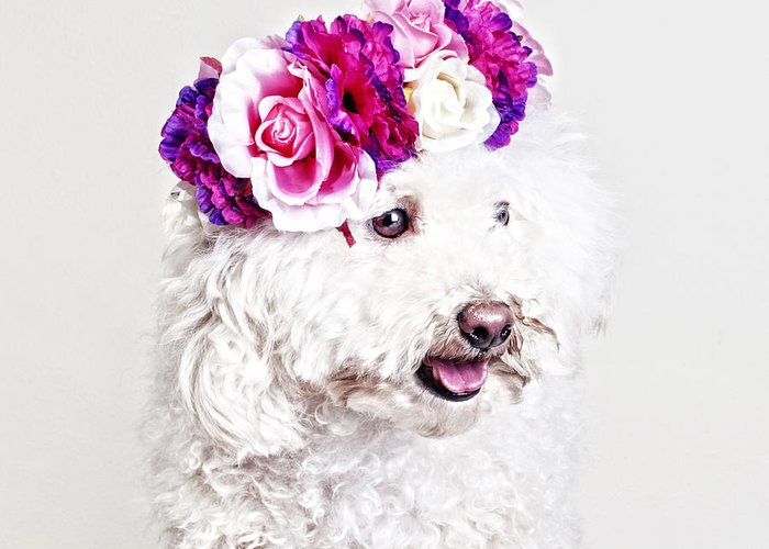Maltipoo Greeting Card featuring the photograph Toffee The Maltipoo by Joy Hsieh