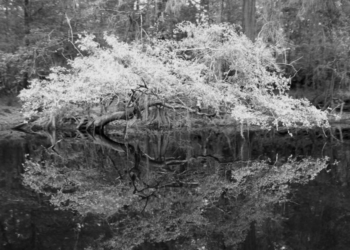 Beautiful Bonsai Like Tree Along The River. Greeting Card featuring the photograph Tranquility by Amber Lopez