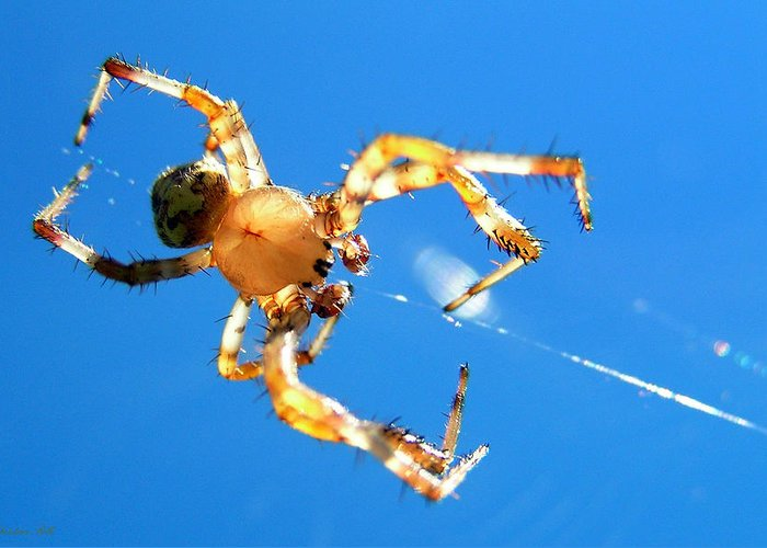 Trapeze Greeting Card featuring the photograph Trapeze Spider by Christina Rollo