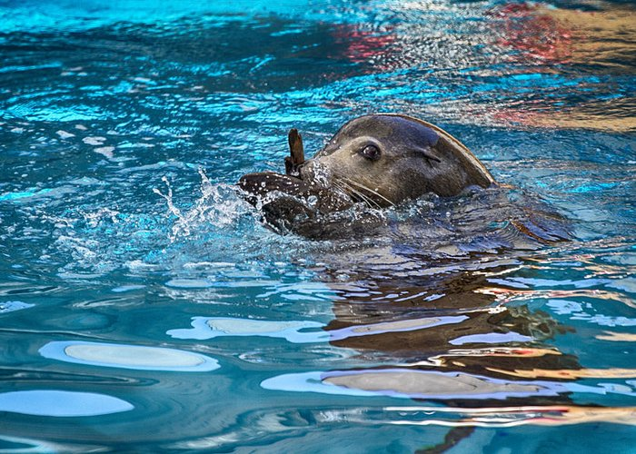 Sea Lion Greeting Card featuring the photograph Treading Water V2 by Douglas Barnard