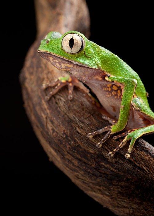 Big Eyed Tree,Frog,Photo,Photographic,Print,Wallart,image,Mounted,unframed,Limited Edition,Portrait,Original,Nature,Wildlife,Art,Picture,fun