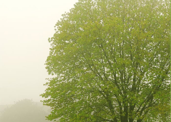 Fog Greeting Card featuring the photograph Tree In Fog by Elena Elisseeva