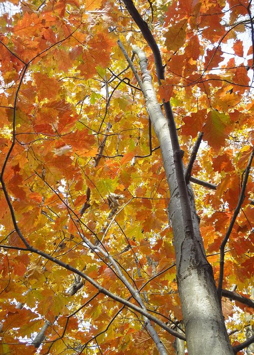 Guy Ricketts Photography Greeting Card featuring the photograph Tree Of Orange by Guy Ricketts