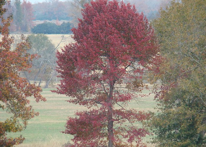 Fall Greeting Card featuring the photograph Tree Of Red by Michael MacGregor