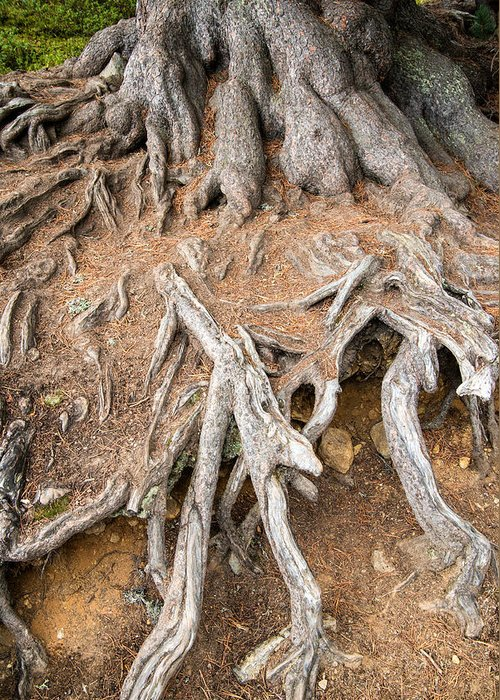 Tree Root Greeting Card featuring the photograph Tree Root by Matthias Hauser