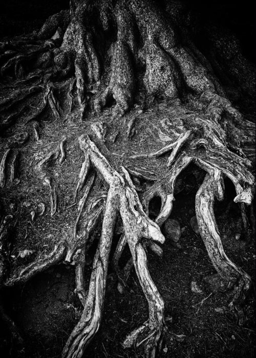 Tree Root Greeting Card featuring the photograph Tree Roots Black And White by Matthias Hauser