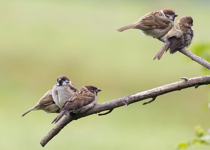 Tree Sparrow Greeting Card featuring the photograph Tree Sparrows by Chris Smith