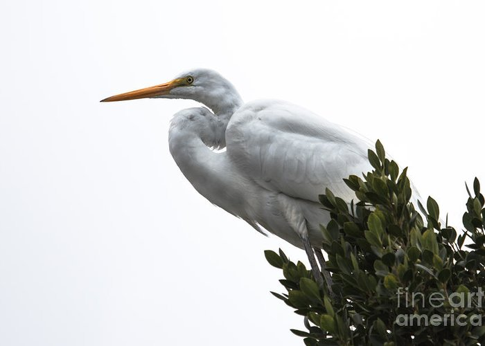 Birds Greeting Card featuring the photograph Treed Egret by Robert Bales