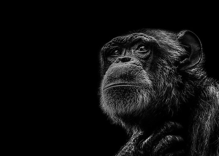Chimpanzee Greeting Cards