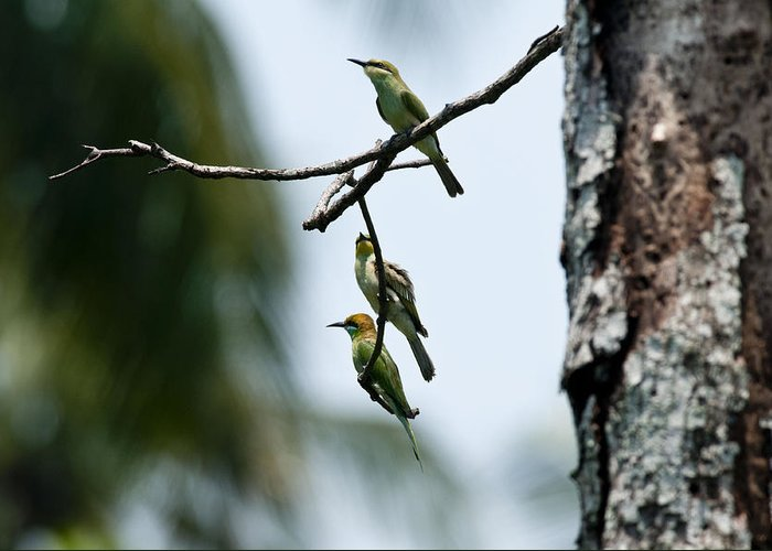Green Bee Eater Greeting Card featuring the photograph Trio by Jugal Bharali