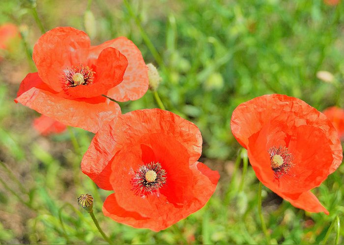 Trio Of Poppies Greeting Card featuring the photograph Trio of poppies by Patrick Pestre