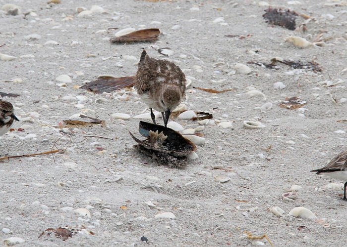 Black-bellied Plover Greeting Card featuring the photograph Trio Of Shore Birds by Doris Potter