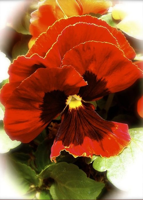Pansy Greeting Card featuring the photograph Triple Look by William Hallett