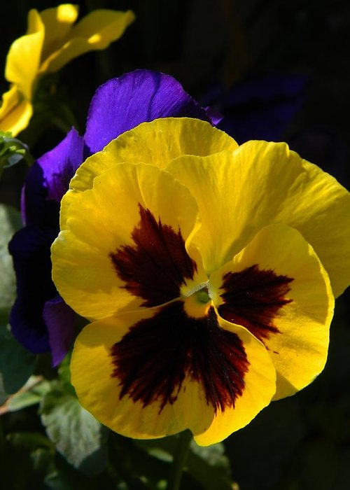 Triple Pansies Greeting Card featuring the photograph Triple Pansies by Warren Thompson