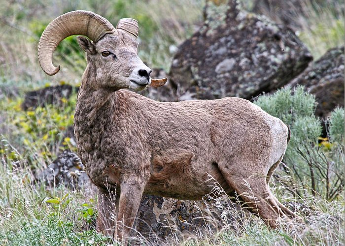 Bighorn Sheep Greeting Card featuring the photograph Wild Bighorn by Athena Mckinzie