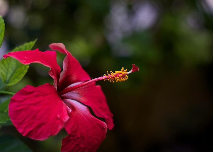 Flower Greeting Card featuring the photograph Tropical Bloom 3 by Tammy Richardson