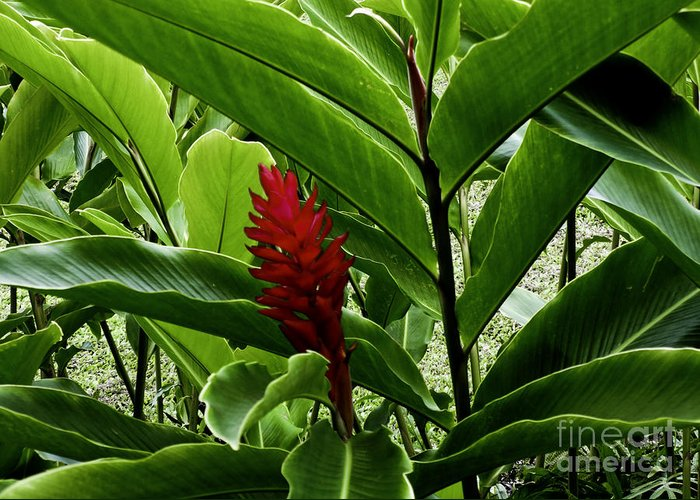 Flower Greeting Card featuring the photograph Tropical by Kelley Belisle