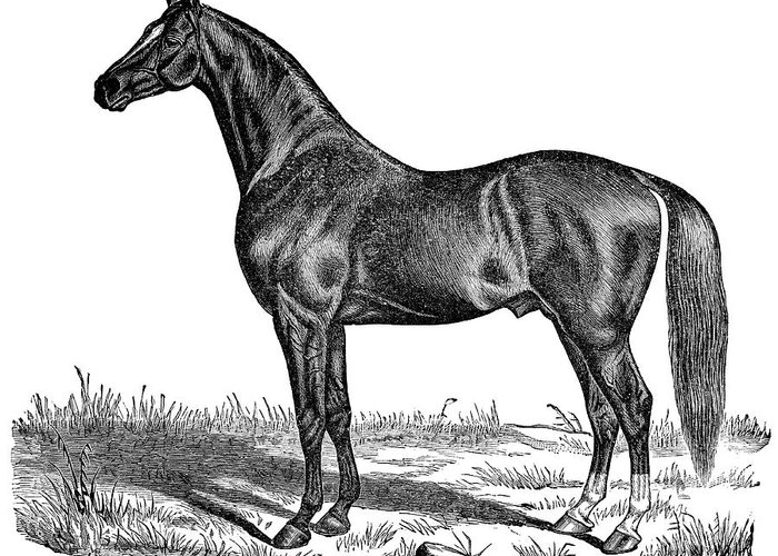 Horse Greeting Card featuring the digital art Trotting Horse Engraving by Nnehring