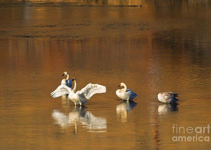 Trumpeter Swan Greeting Cards