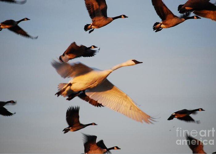 Trumpeter Swan Greeting Card featuring the photograph Trumpeter Swan Family by Joy Bradley