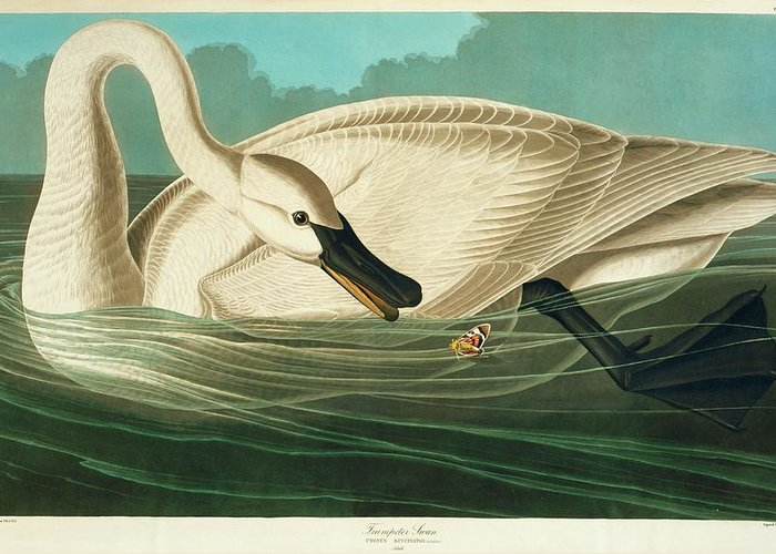 Illustration Greeting Card featuring the photograph Trumpter Swan by Natural History Museum, London/science Photo Library