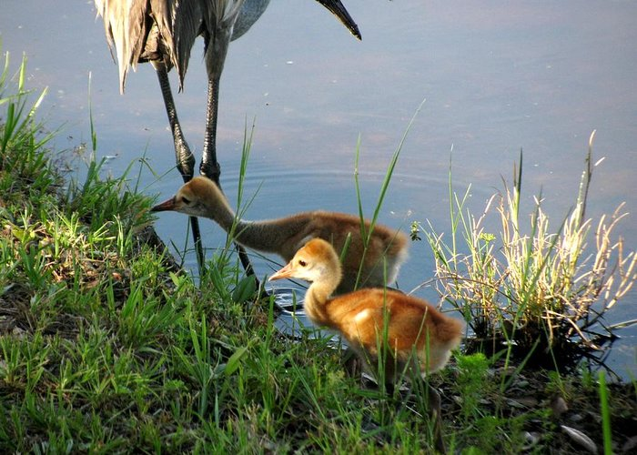 Sandhill Cranes Chicks Greeting Card featuring the photograph Trying To Catch... by Zina Stromberg