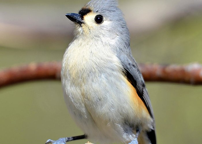 Bird Greeting Card featuring the photograph Tufted Titmouse by Susan Leggett