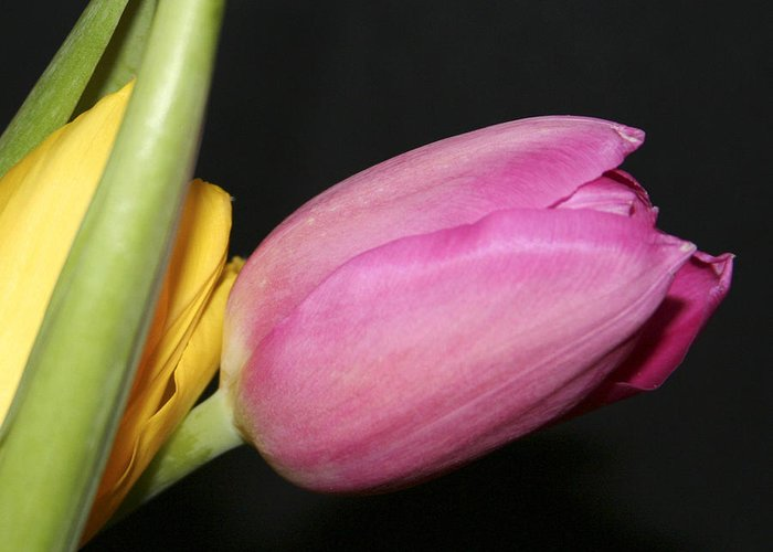 #tulip #nature Greeting Card featuring the photograph Tulip 2 by Jacquelinemari