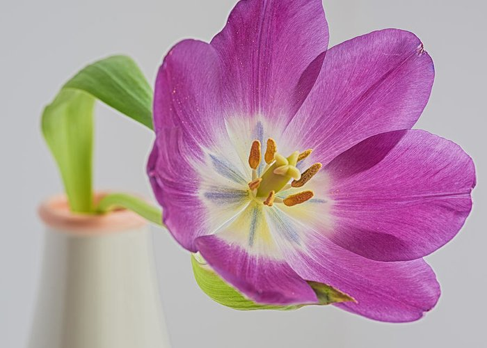Macro Greeting Card featuring the photograph Tulip Delight by Betsy A Davis