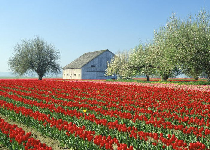 Field Greeting Card featuring the photograph Tulip Field In Washington Stae Usa by King Wu