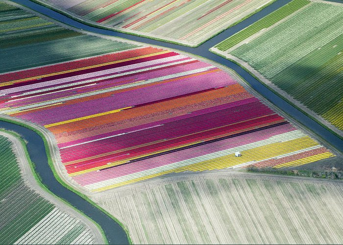 Curve Greeting Card featuring the photograph Tulip Fields, Aerial View, South by Frans Sellies