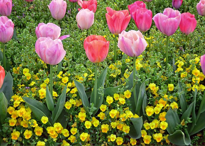 Tulip Greeting Card featuring the photograph Tulip Garden by Steven Michael