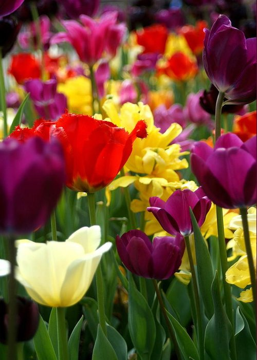 Tulips Greeting Card featuring the photograph Tulip Parade by Laurel Gillespie