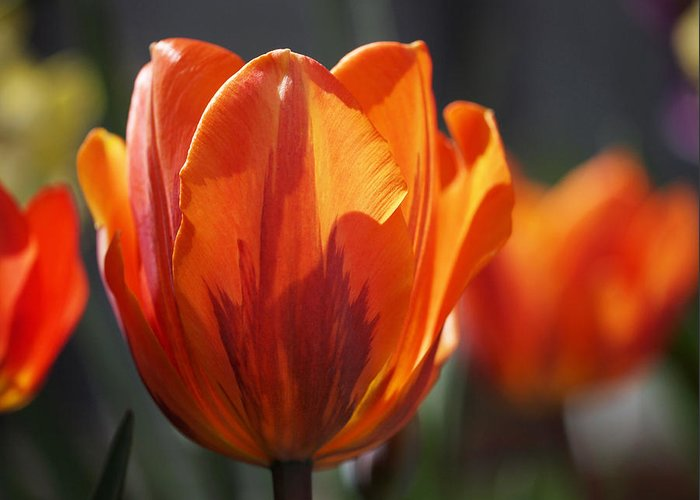 Tulips Greeting Card featuring the photograph Tulip Prinses Irene by Rona Black