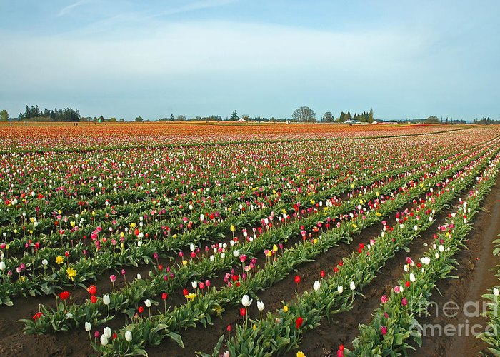 Pacific Greeting Card featuring the photograph Tulips As Far As The Eye Can See by Nick Boren