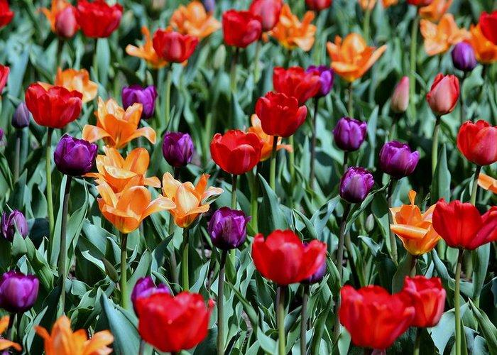 Tulips Galore Photograph by Rosanne Jordan