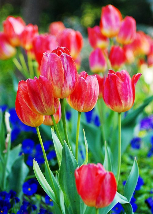 Tulips Greeting Card featuring the photograph Tulips by Val Stone Creager