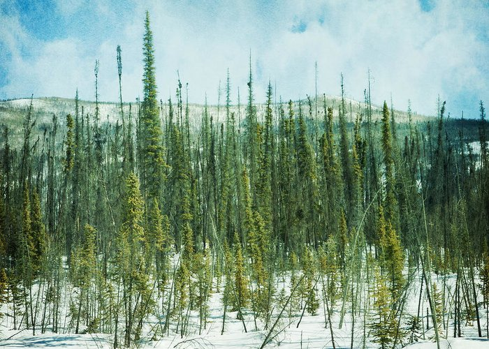 Forest Greeting Card featuring the photograph Tundra Forest by Priska Wettstein