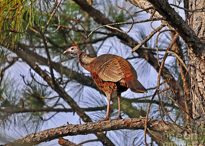 Turkey Greeting Card featuring the photograph Turkey In A Tree by Al Powell Photography USA