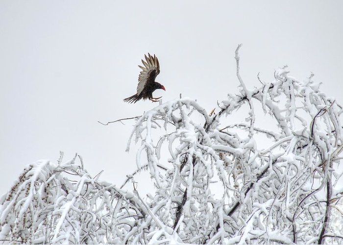 Turkey Vulture Greeting Card featuring the photograph Turkey Vulture In The Snow by M Dale
