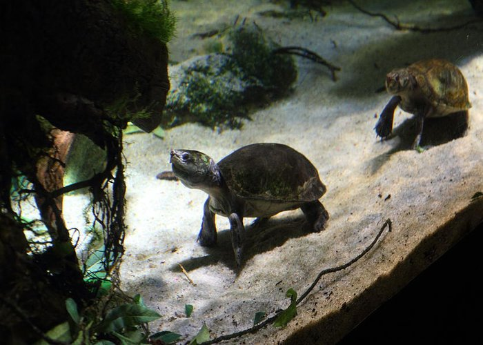 Inner Greeting Card featuring the photograph Turtle - National Aquarium In Baltimore Md - 121218 by DC Photographer