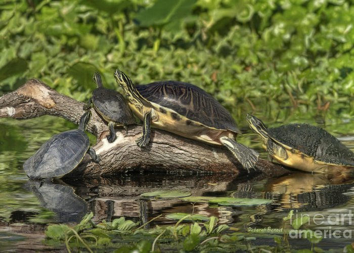 Turtles Greeting Card featuring the photograph Turtles Sunning by Deborah Benoit