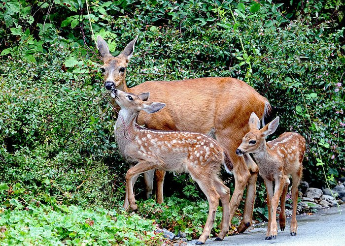 Deer Greeting Card featuring the photograph Twin Fawns And Mother Deer by Peggy Collins
