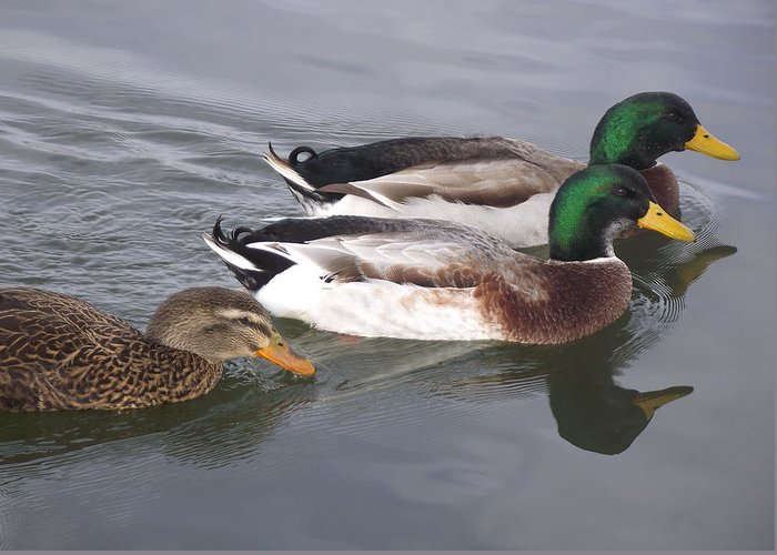 Wildlife Greeting Card featuring the photograph Two-and-a-half Ducks by Mike and Sharon Mathews