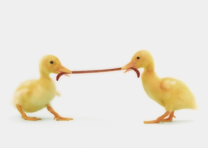 Competition Greeting Card featuring the photograph Two Baby Ducklings Fighting by Thomas Kitchin & Victoria Hurst