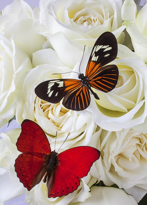 Two Butterfly Greeting Card featuring the photograph Two Butterflies On White Roses by Garry Gay